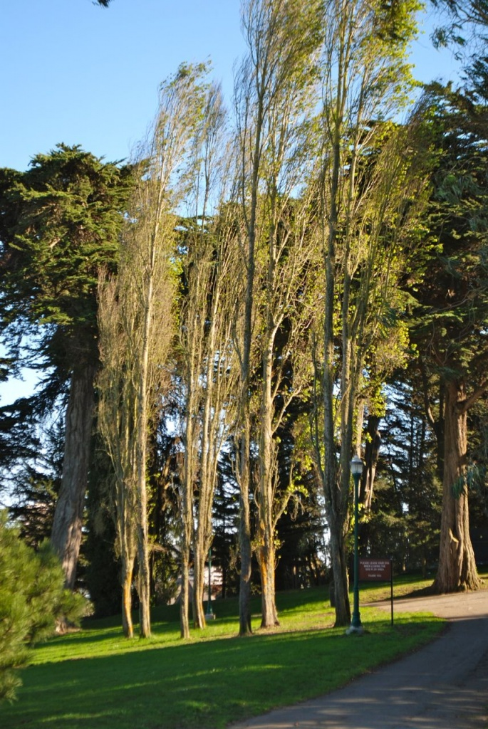 Alamo Square  Poplar Trees