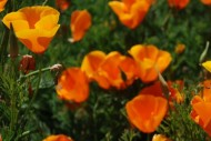 "</a><h3><a href=""http://thesomewhere.com/galleries/hello-orange/"">Showing gallery:  Hello Orange </a></h3><h2><a href=""http://thesomewhere.com/galleries/hello-orange/california-poppies/"">California poppies</a></h2><p>They're beautiful, aren't they? Poppies. They're the California state flower, and they grow wild in spring. So it's that time of the year and they've sprung just about everywhere. I've never been there, but there's … <a class=""more-link"" href=""http://thesomewhere.com/galleries/hello-orange/california-poppies/"">Read More</a></p>"