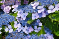 "</a><h3><a href=""http://thesomewhere.com/galleries/something-blue-galleries/"">Showing gallery:  Something Blue </a></h3><h2><a href=""http://thesomewhere.com/galleries/something-blue-galleries/hydrangeas-in-summer/"">Hydrangeas in Summer</a></h2><p>By now you've probably figured out that I love flowers and even more so, love taking pictures of them. It never bores me, mainly because the colors can be so vibrant, the shapes so varied, … <a class=""more-link"" href=""http://thesomewhere.com/galleries/something-blue-galleries/hydrangeas-in-summer/"">Read More</a></p>"
