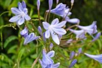 Pretty-Blue-Flowers