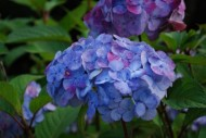 "</a><h3><a href=""http://thesomewhere.com/galleries/just-flowers/"">Showing gallery:  Just Flowers </a></h3><h2><a href=""http://thesomewhere.com/galleries/just-flowers/the-hydrangea-fan-club/"">The Hydrangea Fan Club</a></h2><p>Not everyone loathes hydrangeas. I happen to be a fan, and I know plenty of other people who are. So to give the flower a little love today, I'm making it front and center. Here's … <a class=""more-link"" href=""http://thesomewhere.com/galleries/just-flowers/the-hydrangea-fan-club/"">Read More</a></p>"