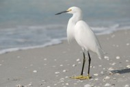 "</a><h3><a href=""http://thesomewhere.com/galleries/sanibel/"">Showing gallery:  Sanibel </a></h3><h2><a href=""http://thesomewhere.com/uncategorized/birds-of-sanibel/"">Birds of Sanibel</a></h2><p>Say hello to the snowy egret, with his stupendous yellow slippers and the hint of yellow on his beak. This one is minding the beach near my Mom's house on Sanibel. Sanibel is bird watcher's … <a class=""more-link"" href=""http://thesomewhere.com/uncategorized/birds-of-sanibel/"">Read More</a></p>"