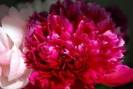 "</a><h3><a href=""http://thesomewhere.com/galleries/just-flowers/"">Showing gallery:  Just Flowers </a></h3><h2><a href=""http://thesomewhere.com/galleries/fuschia-peopies/"">Fuschia Peonies</a></h2><p>They smell as good as they look, too. Bulbous peonies have about one-week bloom life in spring. I can't get enough of them. They remind me of Wilton. My Mom had a garden will peony … <a class=""more-link"" href=""http://thesomewhere.com/galleries/fuschia-peopies/"">Read More</a></p>"